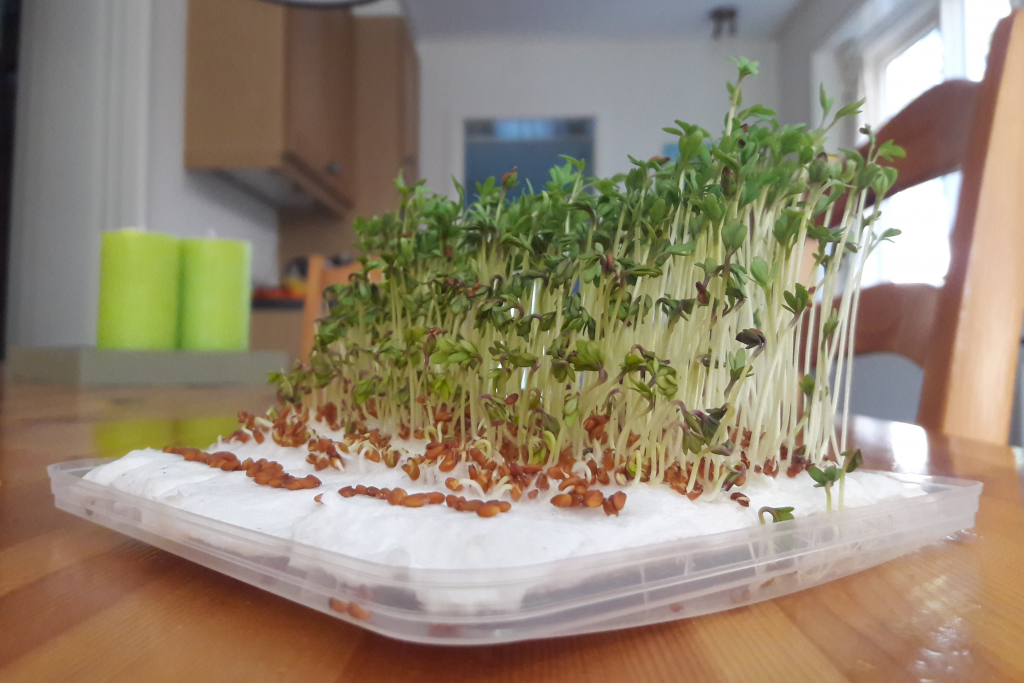 Figure 6: From a series of experiments, cress (Lepidum sativum) was a suitable material to model the dynamics of growing vegetation